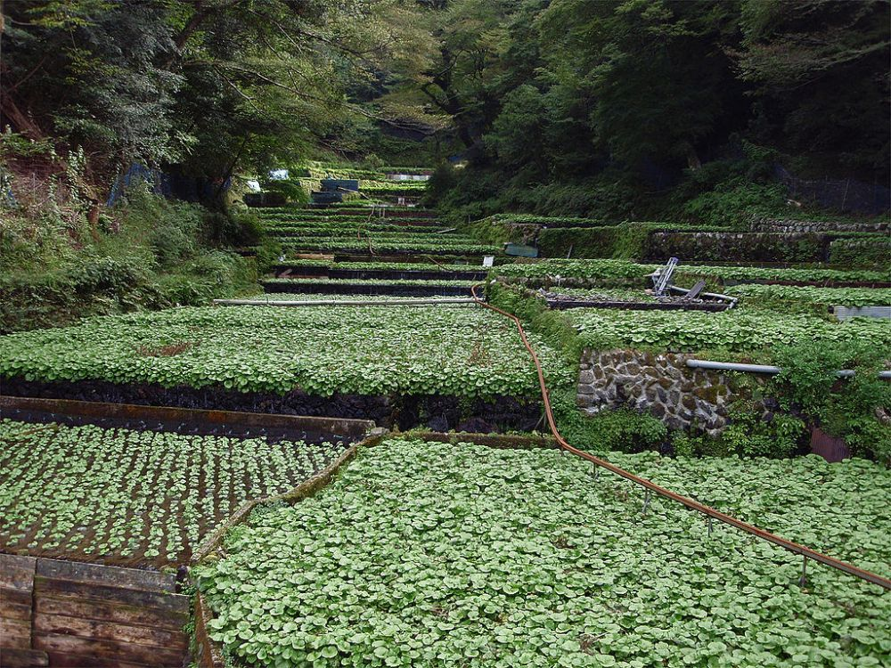 Wasabi crop on Japan's Izu peninsula